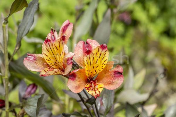 Kırmızı turuncu zambak çiçek yeşil Stok fotoğraf © meinzahn