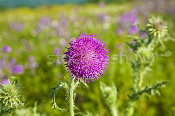 thistle in meadow in morning light Stock photo © meinzahn
