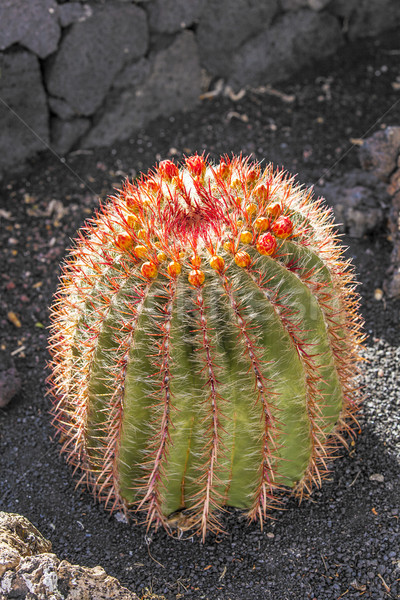 Cactuses in Lanzarote, Spain Echinocactus grusonii (Golden Barre Stock photo © meinzahn