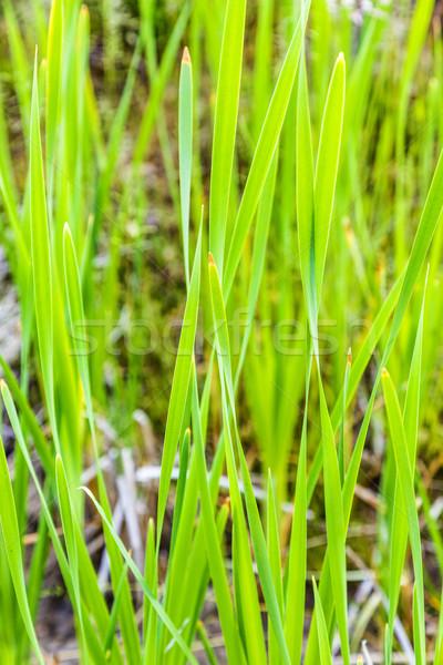 Fresh spring green reed grass  Stock photo © meinzahn