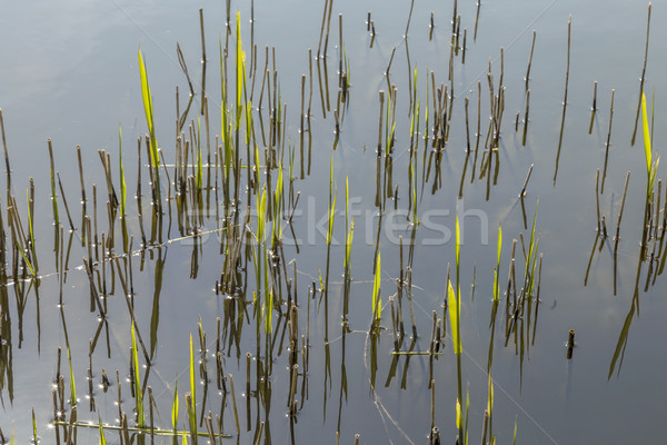 reed grass in the backwater Stock photo © meinzahn