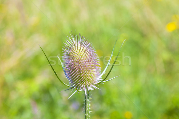beautiful thistle in the meadow Stock photo © meinzahn