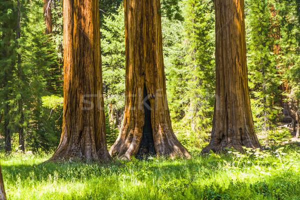 big sequoia trees in Sequoia National Park  Stock photo © meinzahn