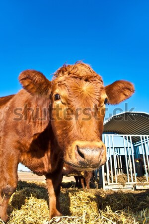 friendly cattle on straw with blue sky Stock photo © meinzahn