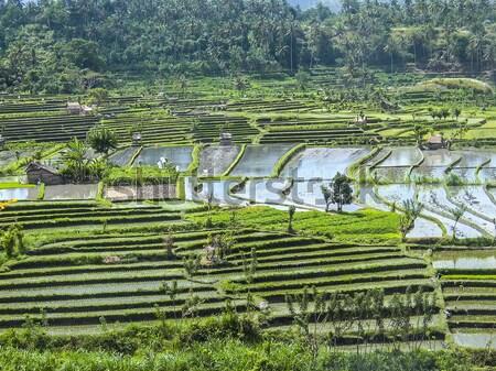 Pirinç bali Endonezya doğa arka plan alan Stok fotoğraf © meinzahn