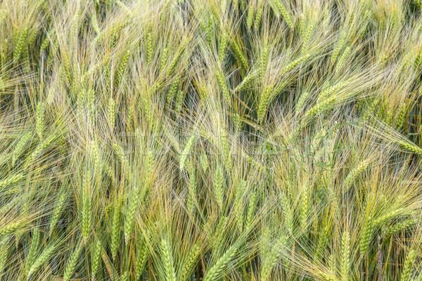 Detay alan manzara yaz yeşil mısır Stok fotoğraf © meinzahn