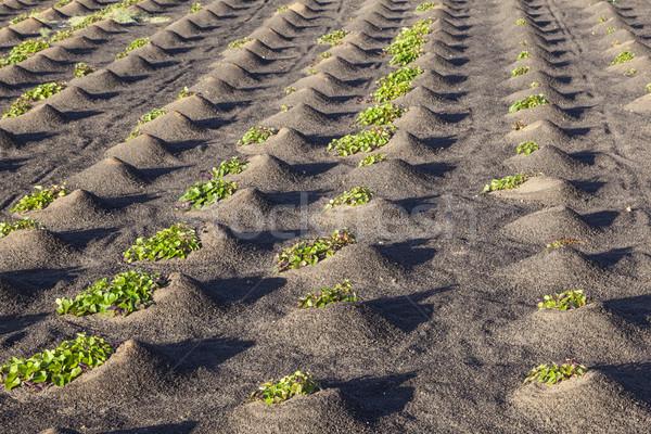 Minta mező zöldségek növekvő vulkáni Föld Stock fotó © meinzahn