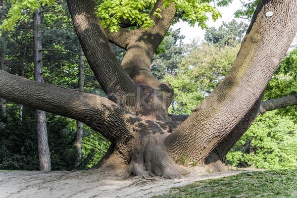 stem of oak tree in Tuerkenschanzpark Stock photo © meinzahn