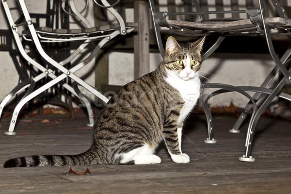 Tigre gato varanda assistindo grama Foto stock © meinzahn