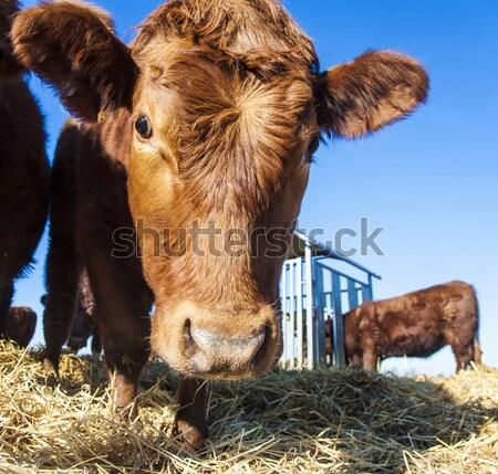 дружественный скота соломы рот Blue Sky природы Сток-фото © meinzahn