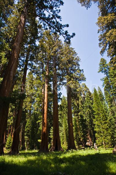 Sekwoja parku starych ogromny drzew jak Zdjęcia stock © meinzahn