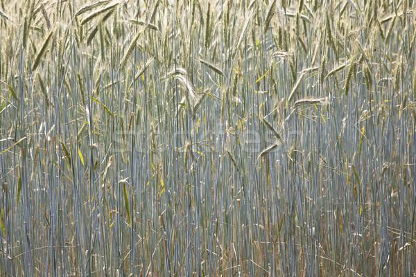 corn field in detail Stock photo © meinzahn