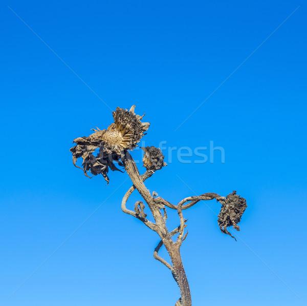 thistle under blue sky  Stock photo © meinzahn