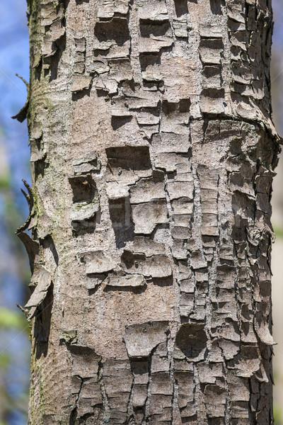 Arbre écorce harmonique modèle européenne forêt Photo stock © meinzahn