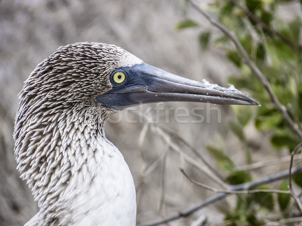 blue footed booby at Galapagos island of North Seymour  Stock photo © meinzahn