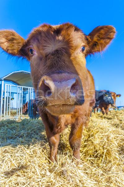 Accueillant bovins paille ciel bleu détail ciel Photo stock © meinzahn