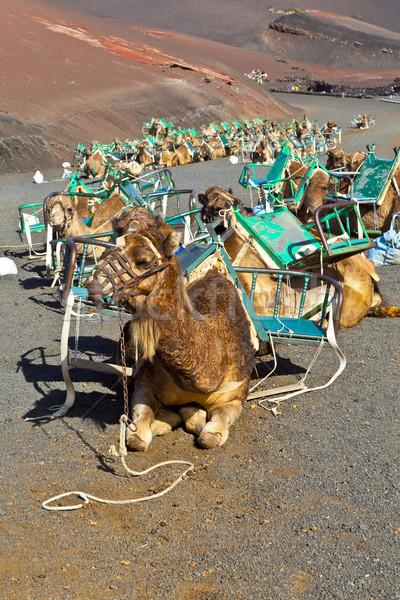 Camelos parque turistas deserto verão Foto stock © meinzahn