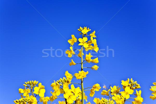 yellow rape field in spring Stock photo © meinzahn