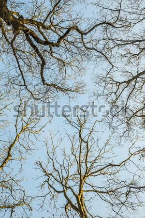 crown of tree under blue sky Stock photo © meinzahn