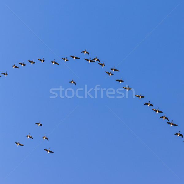 migrant bird in the sky  Stock photo © meinzahn