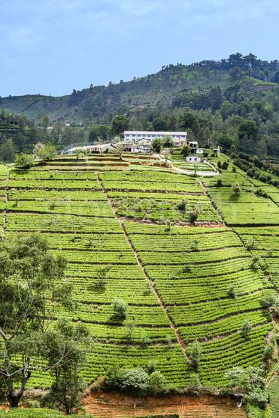 green tea plantation in Sri Lanka Stock photo © meinzahn