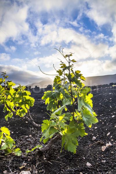 Gyönyörű szőlő növények nő vulkáni föld Stock fotó © meinzahn
