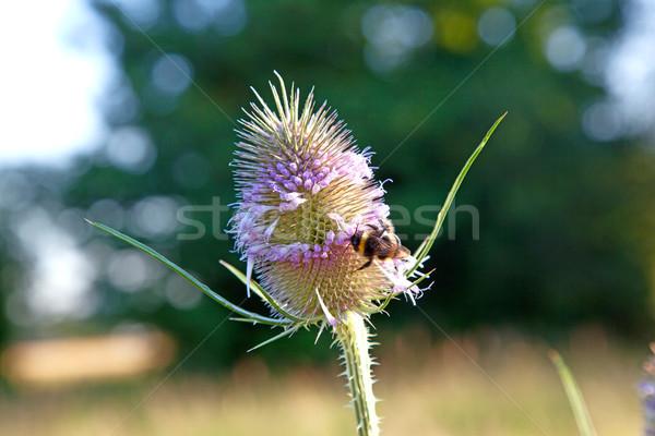 Güzel kır çiçeği çayır arı bahar yaprak Stok fotoğraf © meinzahn