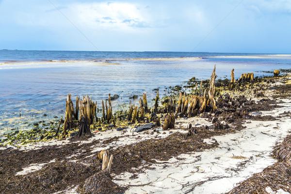 Tuhaf eski ağaçlar sahil gökyüzü Stok fotoğraf © meinzahn