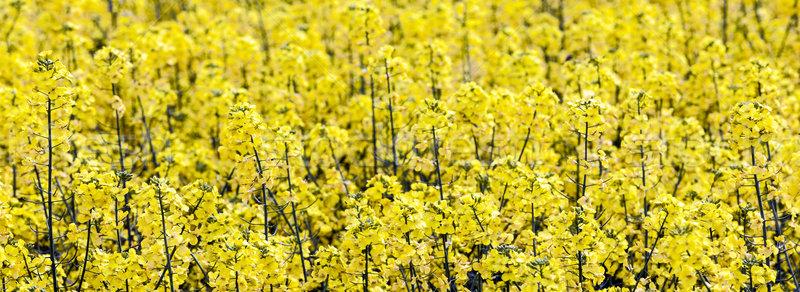 Minta citromsárga nemi erőszak mező égbolt virág Stock fotó © meinzahn