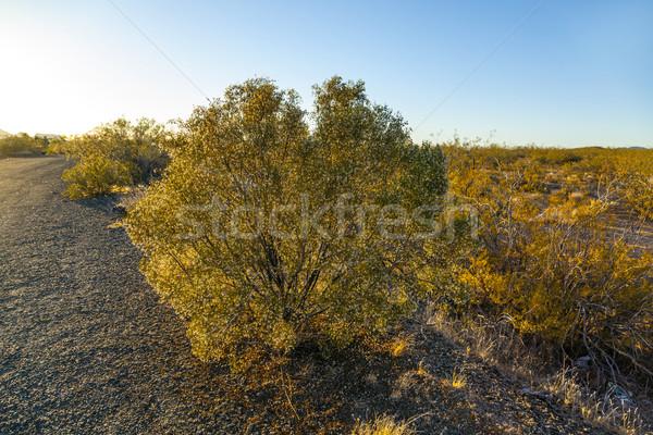 joshua tree in warm bright light Stock photo © meinzahn
