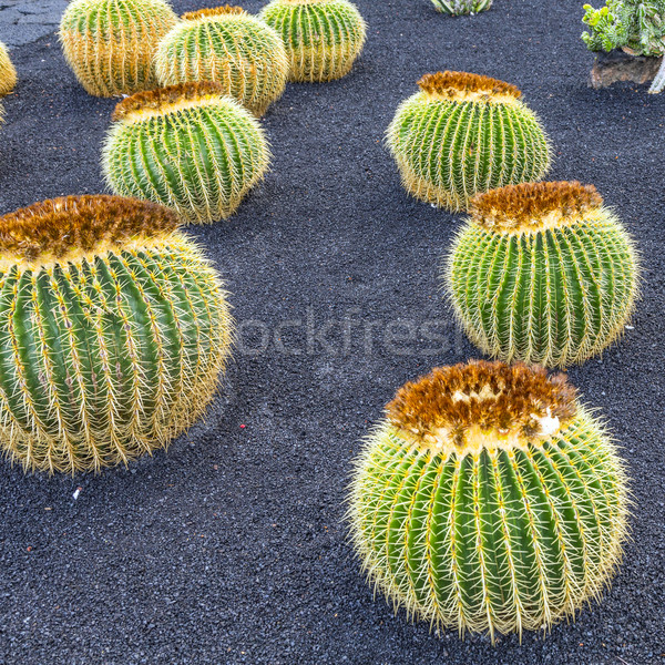 pile of Echinocactus grusonii, cactus typical of southern hemisp Stock photo © meinzahn