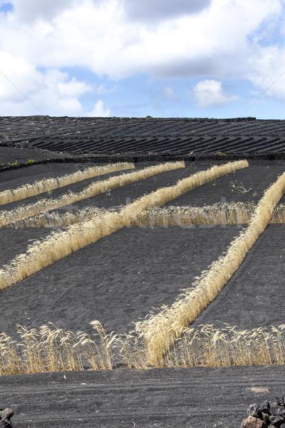 field on volcanic soil with golden row of corn in Lanzarote Stock photo © meinzahn