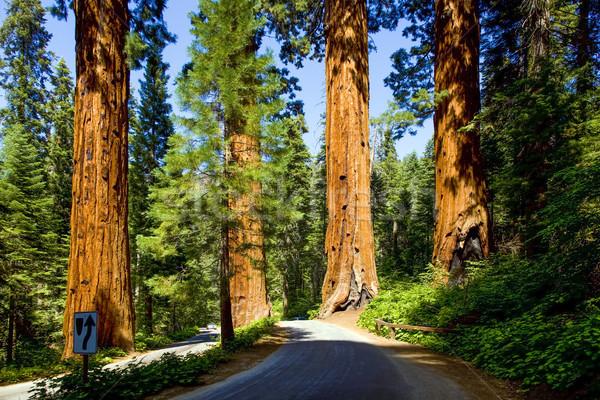 Słynny duży sekwoja drzew stałego drzewo Zdjęcia stock © meinzahn