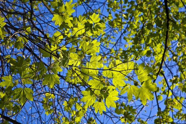 Levelek fa intenzív fény reggel víz Stock fotó © meinzahn