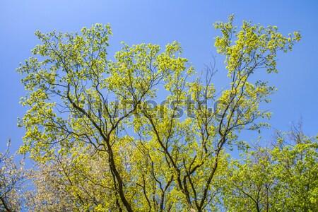 Bladeren boom intensief licht ochtend water Stockfoto © meinzahn