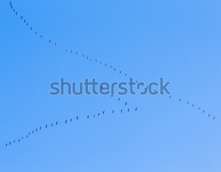 migrant birds on their way to warmer aerea Stock photo © meinzahn