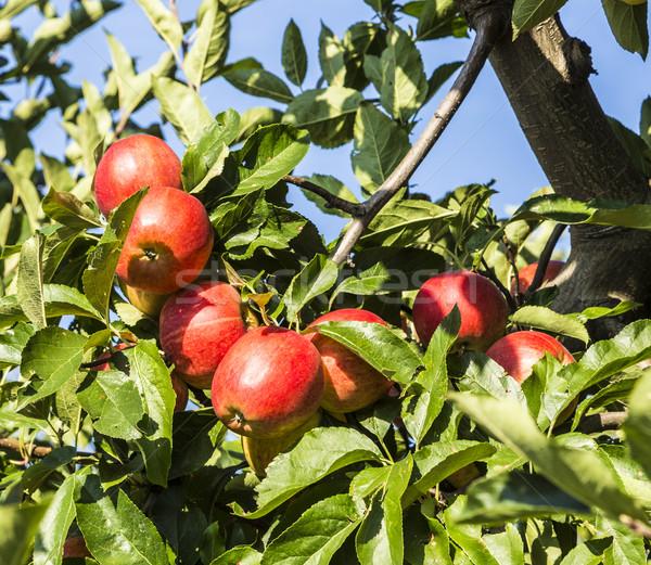 Rosso mele crescere ramo cielo blu alimentare Foto d'archivio © meinzahn
