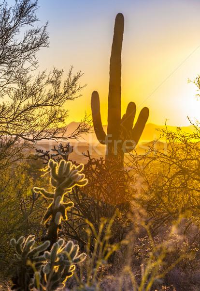 cactus in the desert Stock photo © meinzahn