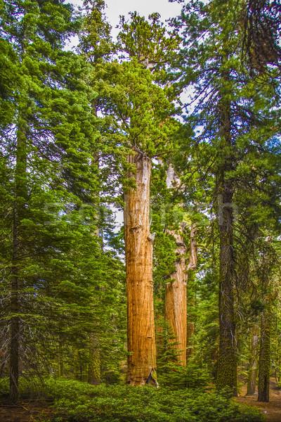 Wysoki duży piękna sekwoja parku drzewo Zdjęcia stock © meinzahn