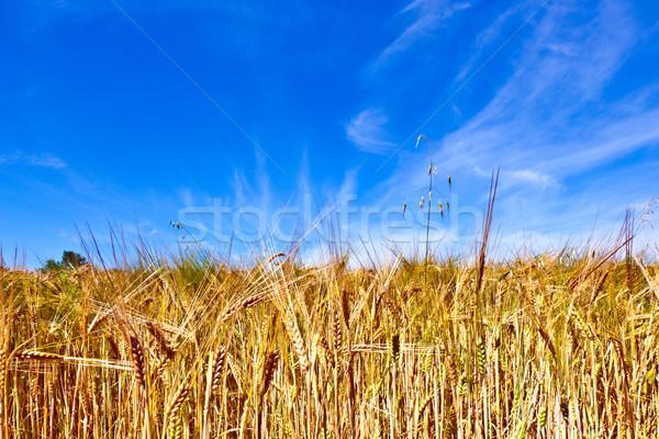 Arany kukoricamező kék ég fű háttér nyár Stock fotó © meinzahn