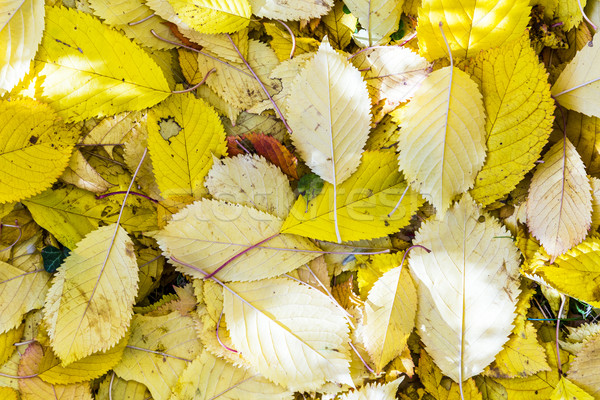Kers boom bladeren gras harmonisch najaar Stockfoto © meinzahn