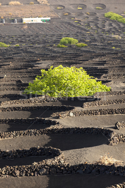 A vineyard in Lanzarote island, growing on volcanic soil  Stock photo © meinzahn