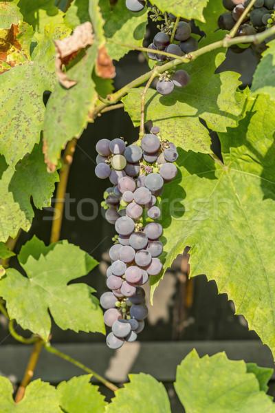 Blue grape cluster on vine closeup photo Stock photo © meinzahn