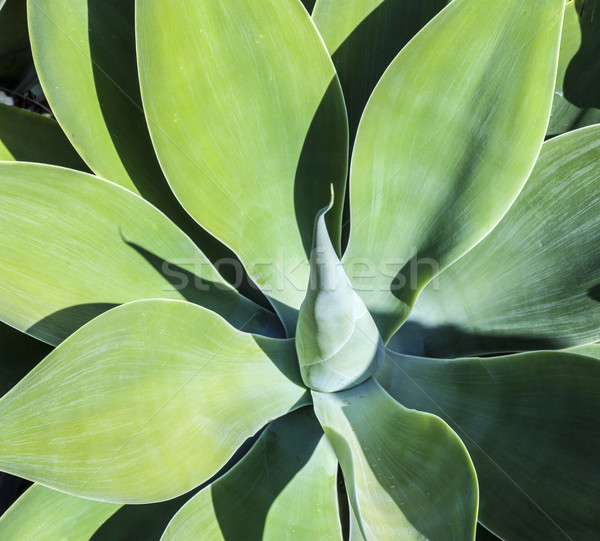 Folhas verde agave planta céu flor Foto stock © meinzahn