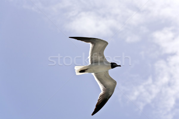 flying seagulls  Stock photo © meinzahn