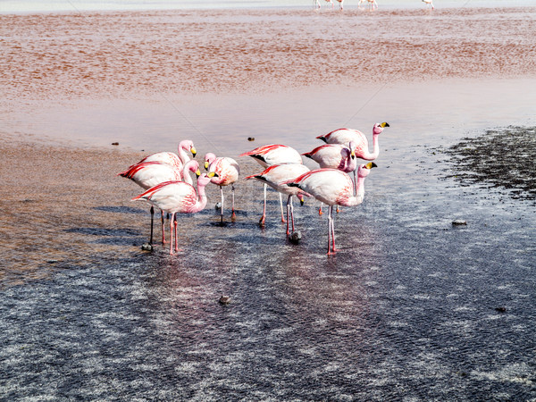 Pink flamingos in wild nature of Bolivia, Eduardo Avaroa Nationa Stock photo © meinzahn