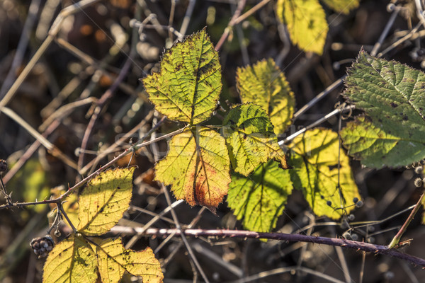 Foglie indian estate colori foresta Foto d'archivio © meinzahn