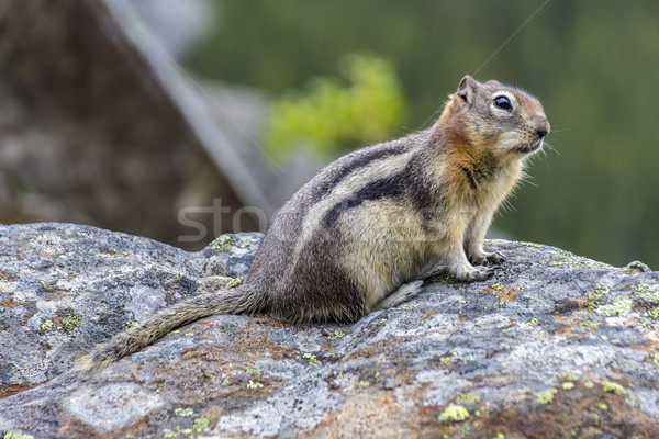 marmot standing on back legs Stock photo © meinzahn