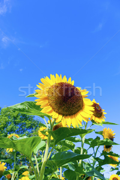 beautiful blooming sunflowers on the meadow Stock photo © meinzahn