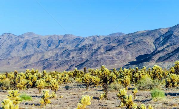 Cholla Cactus Garden in Joshua Tree national park  Stock photo © meinzahn